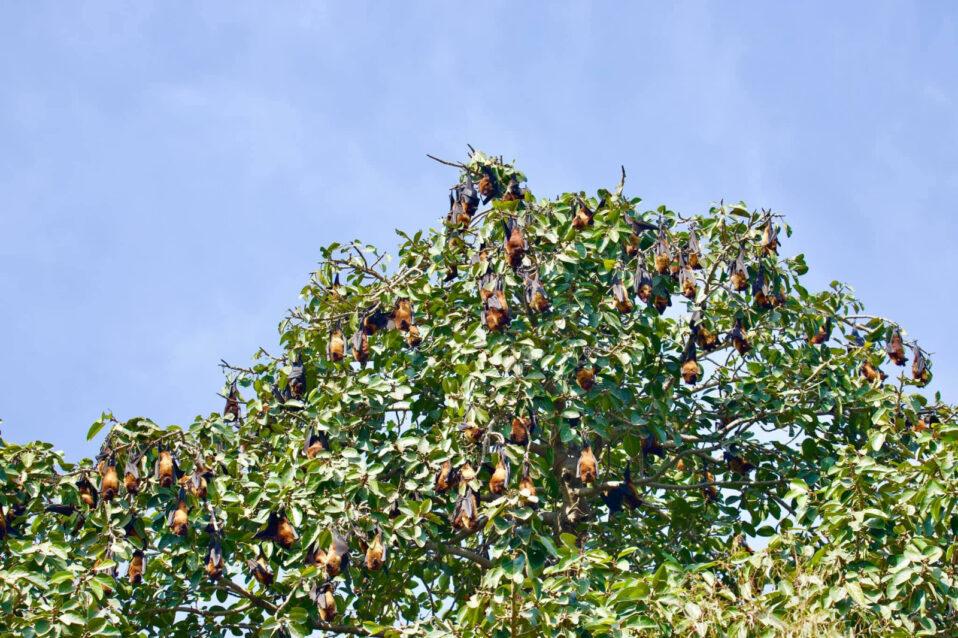 Indian flying foxes enjoying native fruits near Sargodha, Punjab, Pakistan. Photo Source: RJ Shilx